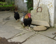 Orkney Chickens